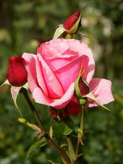 pink rose and buds on ornamental shrub