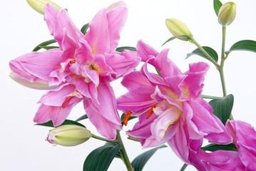 lila fragrant lilies