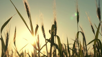 Silhouette of wheat at the sunset.