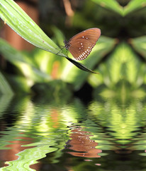 butterfly reflected on water