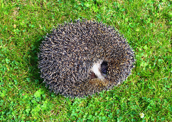 Forest wild hedgehog