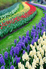 Tulips and hyacinth