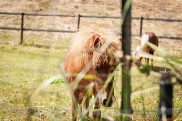 Braunes Pony am grasen