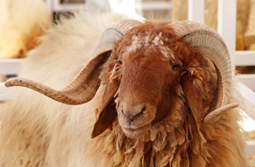 Beautiful portrait of Awassi sheep