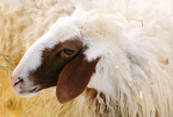 Closeup of female Awassi sheep