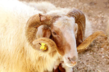 Portrait of a Awassi sheep
