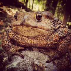 giant toad upon a rock