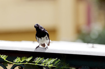 Beautiful male Oriental Magpie-Robin gazing