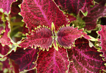 Coleus ornamental red leaf plant