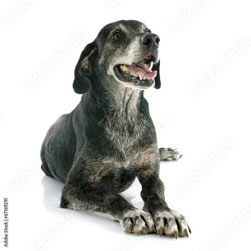 old dog - 67169291