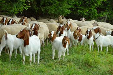 Ziegen und Schafe suchen ein schattiges Plätzchen