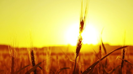 Silhouette of wheat at the sunset