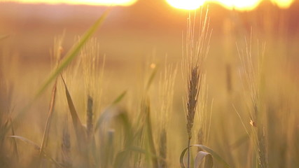 Wheat straws at sunset