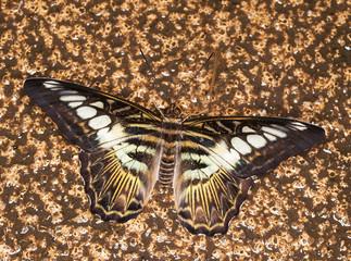 King Swallowtail - Papilio thoas thoas