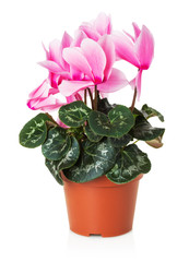 pink flowerpot isolated on the white background