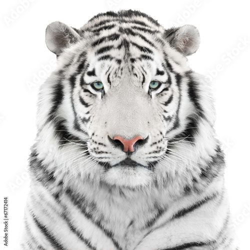 In de dag Tijger Isolated white tiger