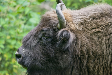 European bison - bull