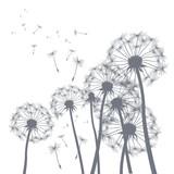 Fototapety vector grey dandelion illlustrator