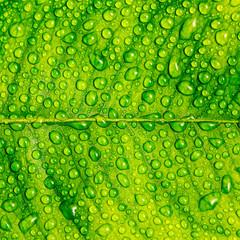 Regen auf einem Blatt lotuseffekt