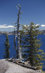 Dead Tree on the Rim of Crater Lake