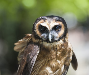 Closeup of brown wood owl