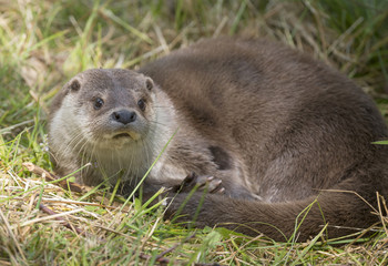 otter - Lutra lutra in nature