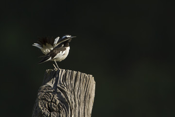 White-browed wagtail bird in Nepal
