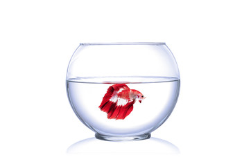 Red Siamese fighting fish in fish bowl, white background.