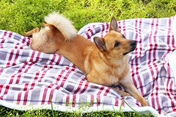 Funny cute dog lying on plaid, outdoors