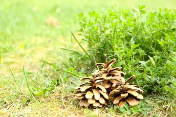 Pine cones in grass