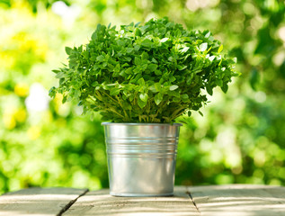 green basil in a pot