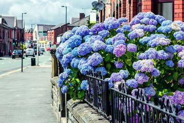 Blue Hydrangea bush on the Traditional English Street