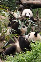Pandas eating