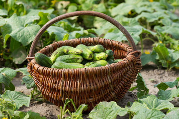 Basket with fresh cucumbers