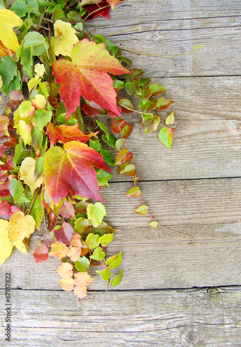 "canvas print picture Herbstmotiv ""wilder Wein"""