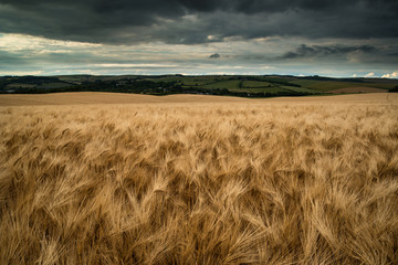 Stunning wheat field landscape under Summer stormy sunset sky