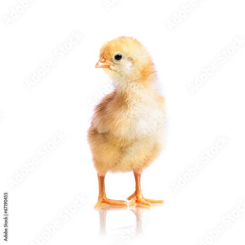 Foto op Canvas Kip Cute little chicken