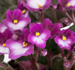 Blossoming violet saintpaulia close up