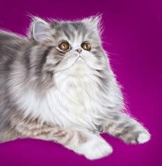 pers cat