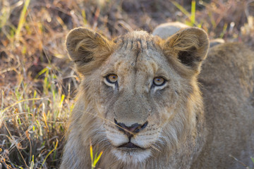 Portrait of a young lion lying in the grass
