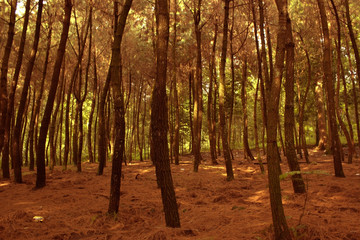 Pines Tree