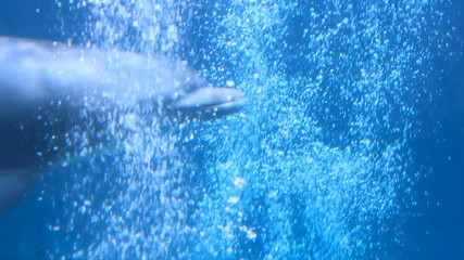 A bottlenose dolphin swimming in a aquarium