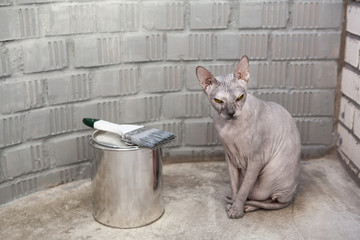 Grey sphinx cat sits near can with grey paint