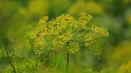 Fennel inflorescence, umbrellas.with a natural sound
