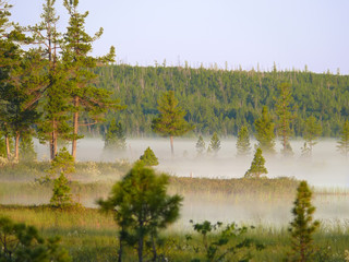 Pine forest in the fog. The landscape of the Northern nature.
