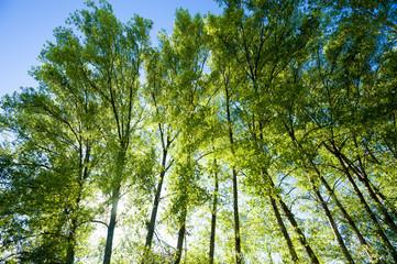pioppi, alberi 5295