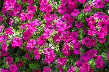 Purple Petunia Flowers Summer Blossom