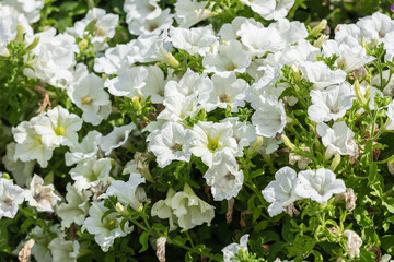 White Petunia Flowers Summer Blossom