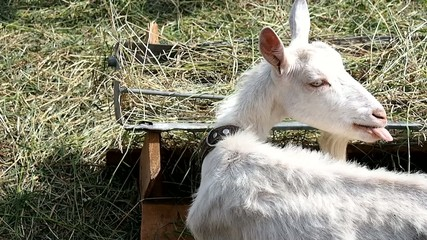 Goat eating hay in the barnyard