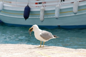 Gull eating a rat, Skiathos island